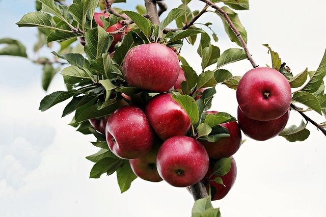 """FELHÍVÁS  a """"Csepeli Gyümölcsfa""""  programban való részvételre"""